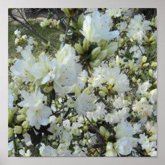 Azaleas blancas enanas poster