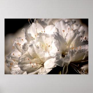 Azaleas blancas gloriosas en la floración poster