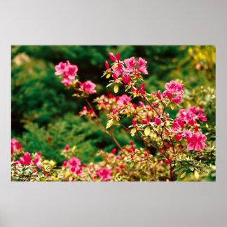 Azaleas blooming posters