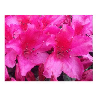 Azaleas de la primavera postales