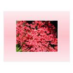 Azaleas. Flores rosadas bonitas Postal