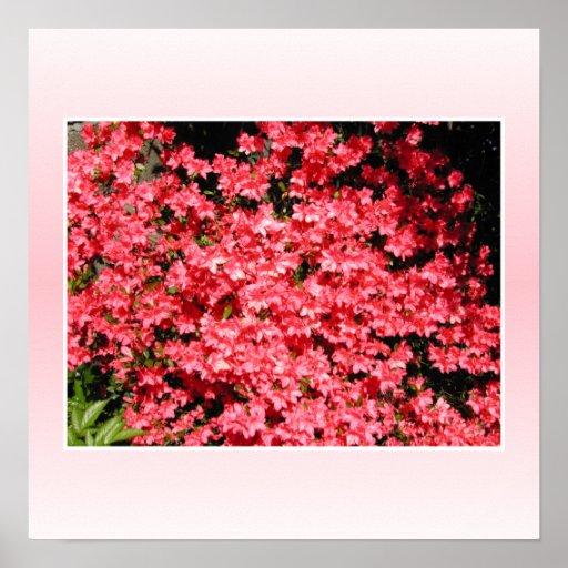 Azaleas. Flores rosadas bonitas Poster