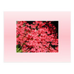 Azaleas. Flores rosadas bonitas Tarjetas Postales