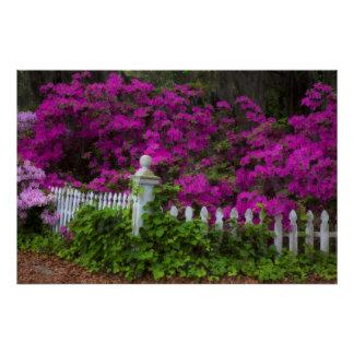 Azaleas in the spring at Historic Isle of Hope Print