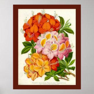 """Azaleas resistentes"" por sir José Paxton Poster"
