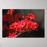 Azaleas rojas y significado póster