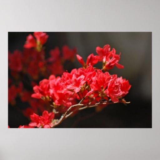 Azaleas rojas y significado posters