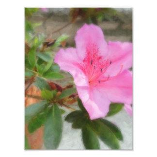 Azaleas rosadas 1 fotografía