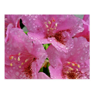 Azaleas rosadas con las flores de las gotas de roc postales