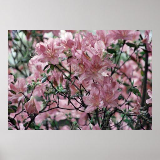Azaleas rosadas polvorientas y significado póster