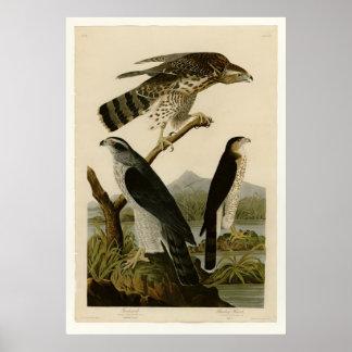 Azor y halcón de Stanley Posters