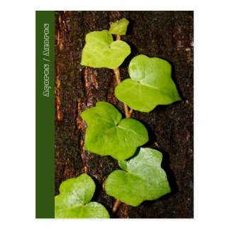 Azores endemic hedera postcard