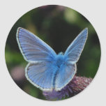 Azul común de la mariposa en los pegatinas del pegatinas redondas