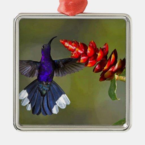 Azul del colibrí adorno navideño cuadrado de metal
