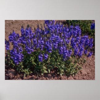 Azul del lago crater, flores (Veronica) Póster