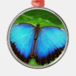 Azul iridiscente con las alas negras de la maripos ornatos