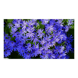 Azul Margarita-como las flores Póster