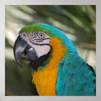 Azul y poster del Macaw del oro