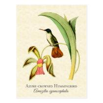 Azure Crowned Hummingbird Vintage Art Postcard