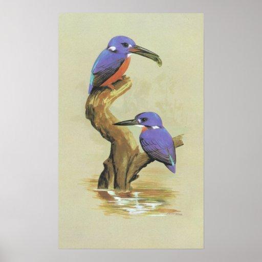 Azure Kingfisher - Ceyx azureus Print