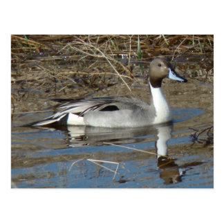 B0005 Pintail Duck Postcard