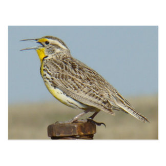 B0006 Western Meadowlark Postcard