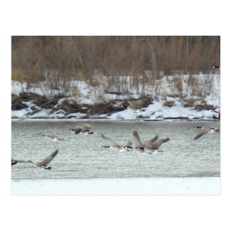 B0007 Canadian Geese in flight Post Card