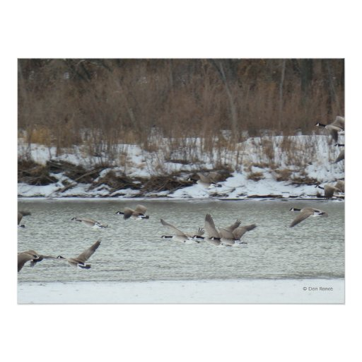 B0007 Canadian Geese Posters