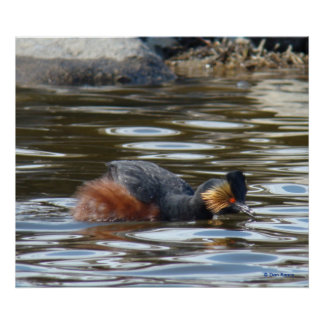 B0008 Eared Grebe Courting Poster