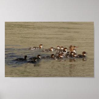 B0017 Merganser Hen and Ducklings Poster