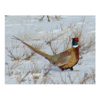 B0022 Ring Necked Pheasant 1 Postcard