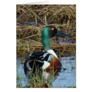 B0026 Northern Shoveler Duck Card