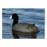 B0027 Common Coot Greeting Card
