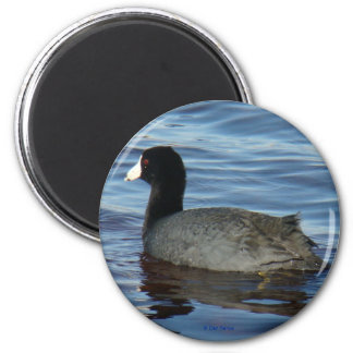 B0027 Common Coot magnet