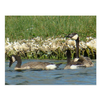B0037 Canadian Geese Post Cards