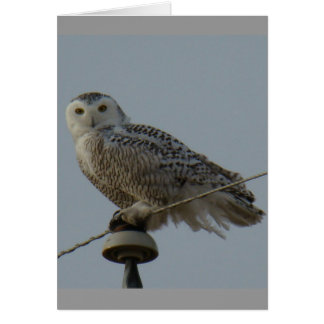B0038 Snowy Owl Card