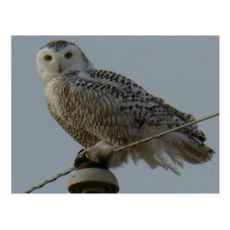 B0038 Snowy Owl Postcard