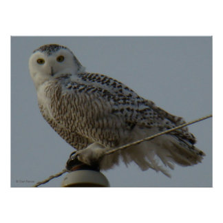 B0038 Snowy Owl Poster