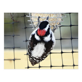 B0053 Downy Woodpecker Postcard