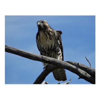 B0054 Swainsons Hawk Postcard