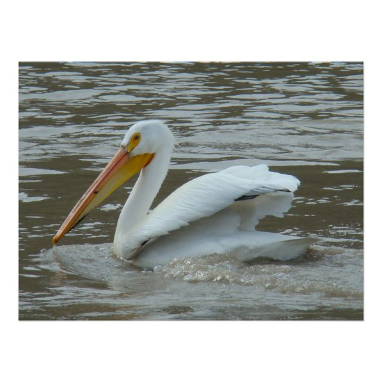 B14 White Pelican on Muddy River Poster