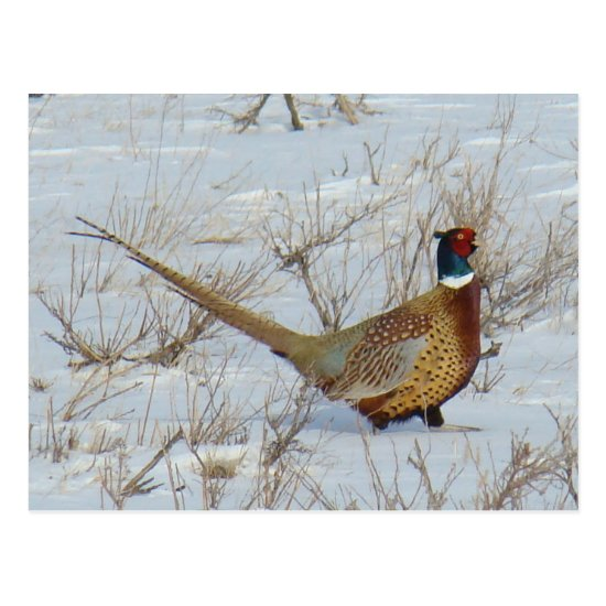 B22 Ring-necked Pheasant in Snow Postcard