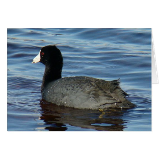 B27 Common Coot
