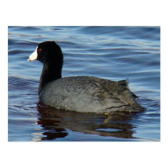 B27 Common Coot Postcard