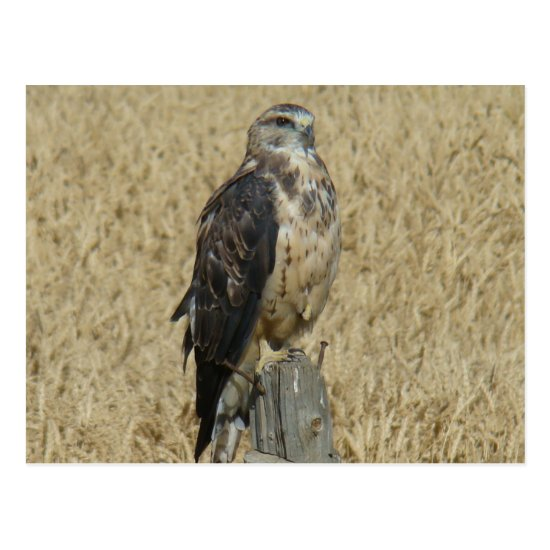 B35 Ferruginous Hawk Postcard