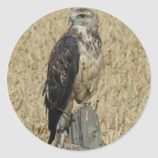B36 Ferruginous Hawk in Wheat Field Classic Round Sticker