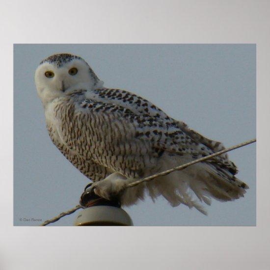 B38 Snowy Owl Poster