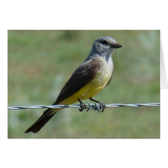 B44 Western Kingbird