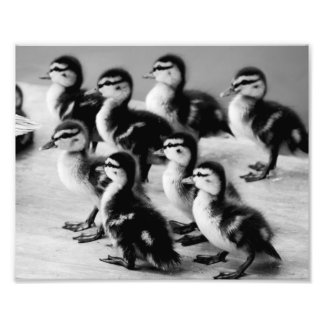B&W Ducklings Photograph