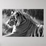 B&W Tiger Profile Photo Print